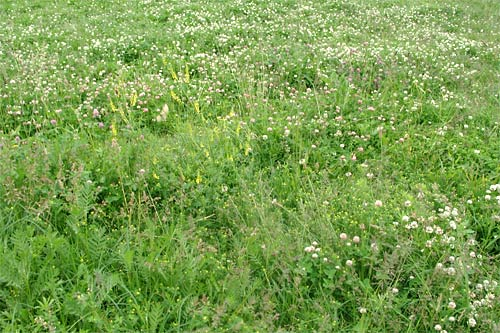 Газоны. Разновидность газонов - Луговой газон