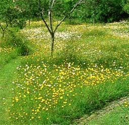 Газоны. Разновидность газонов - Цветущий газон