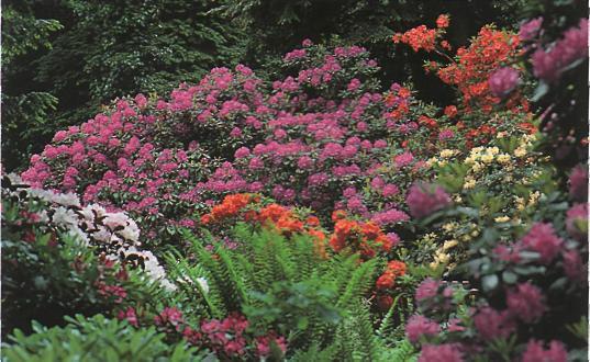 Сравнительные характеристики различных типов садов - рододендроны в саду