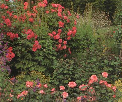 Сравнительные характеристики различных типов садов - розы в саду