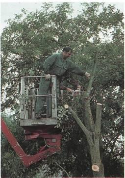 Обновка деревьев в саду - Использование люльки для чистки деревьев