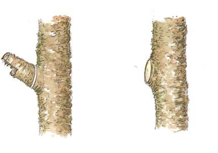 Обрезка и омоложение растений - пример обрезки дерева