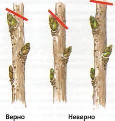 Обрезка и омоложение растений - личение ран растений