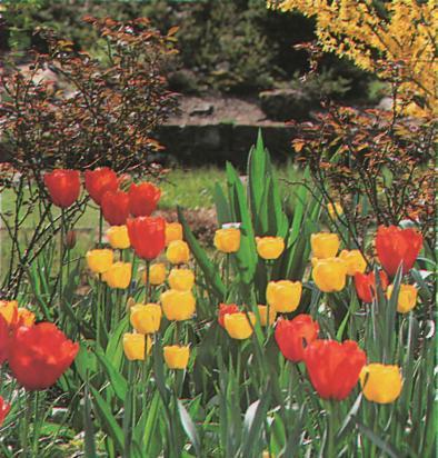 В течение этого периода могут использоваться однолетние цветы и луковичные...  Свободное пространство между форзицией...